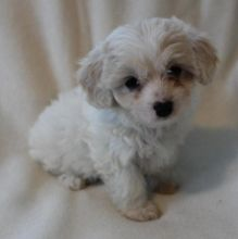 Cavachon Puppies Designer Breed Available Now