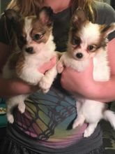 Papillon Puppies Health Checked For Loving And Caring Homes