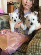 West Highland Terrier Puppies Health Proven