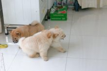 Cute Chow Chow Puppies Available,