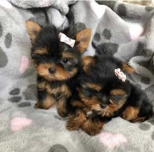 Teacup Yorkie puppies Image eClassifieds4U