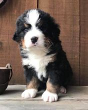 Bernese Mountain Dog Puppies CKC Available For Good Homes
