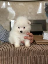 Japanese Spitz Puppies Health Tested For Adoption Image eClassifieds4U