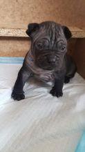 Chinese Chongqing Dog Puppies For Adoption