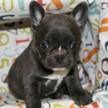 CKC quality French Bulldog Puppy for free adoption!!!