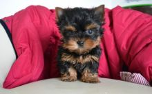 Gorgeous Full Pedigree Yorkshire Terrier Pups for Adoption