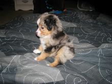 Australian Shepherd Available for Adoption