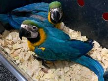 Beautiful Blue and Gold Macaws parrots,