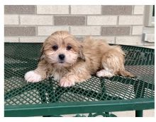 Ckc Lhasa Apso Puppies Ready for a   Email at us  [dowbenjamin8@gmail.com ]
