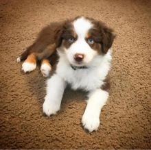 Ckc Saint Bernad Puppies  Email at us  [dowbenjamin8@gmail.com ]