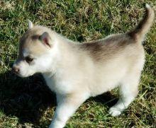 Ckc Siberia Husky Puppies  Email at us  [dowbenjamin8@gmail.com ]