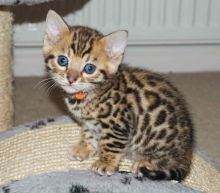 cute Bengal kittens for new home