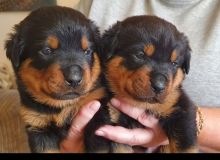 vaccinated Rottweiler puppies for adoption