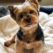 Prodigious Ckc Yorkie Puppies Available [ dowbenjamin8@gmail.com]