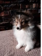 Eye Catching Ckc Sheltie Puppies Available [ dowbenjamin8@gmail.com]