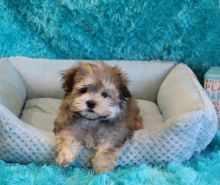 Gorgeous ckc Morkie puppies available [ dowbenjamin8@gmail.com]