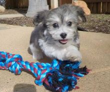 Staggering Ckc Havanese Puppies Available [ dowbenjamin8@gmail.com]