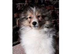 Sweet Male And Female Sheltie puppies For Free Adoption. Text us via 709 260 5546