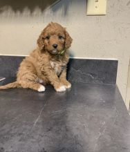 ***Coc.kapoo Puppies*** 1 Boy & 1 Girl *** READY NOW
