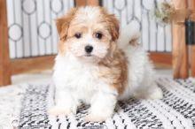 ***Havanese Puppies*** 1 Boy & 1 Girl *** READY NOW