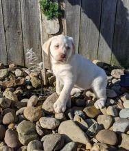 ***Labrador Retriever Puppies*** 1 Boy & 1 Girl *** READY NOW