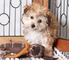 Smart Ckc Morkie Puppies Available