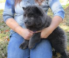 Adorable Ckc Chow Chow Puppies Available [ dowbenjamin8@gmail.com]