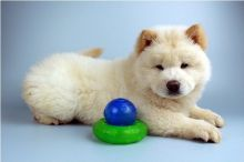 Charming male and female Chow Chow Puppies Available