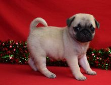 Cute and lovely Male and Female Pug puppies ready for adoption