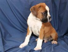 Gorgeous male and female Boxer puppies ready for adoption