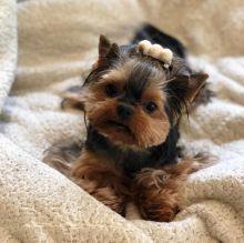 Sensational Ckc yorkie Puppies Available [ dowbenjamin8@gmail.com]