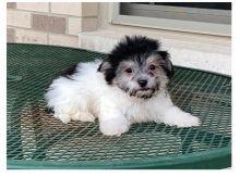 Ckc Havanese Puppies Email at us [ dowbenjamin8@gmail.com ]