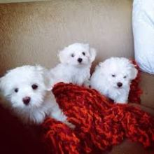 Maltese puppies, male and female for adoption