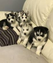 Siberian Huskies pups Ready For New Homes