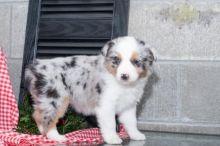 ***Australian Shepherd Puppies*** 1 Boy & 1 Girl *** READY NOW Image eClassifieds4U