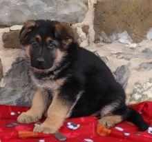 ***German Shepherd Puppies*** 1 Boy & 1 Girl *** READY NOW