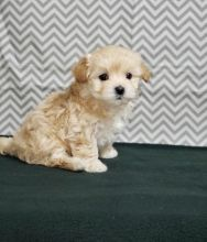 ***Maltipoo Puppies*** 1 Boy & 1 Girl *** READY NOW