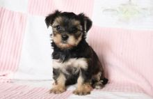 ***Morkie Puppies*** 1 Boy & 1 Girl *** READY NOW