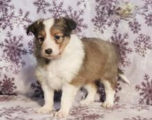 ***Sheltie Puppies*** 1 Boy & 1 Girl *** READY NOW