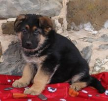 ***German Shepherd Puppies*** 1 Boy & 1 Girl *** READY NOW Image eClassifieds4U