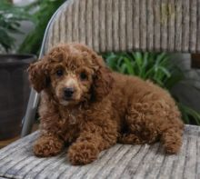 ***Toy Poodle Puppies*** 1 Boy & 1 Girl *** READY NOW Image eClassifieds4U
