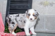 ***Australian Shepherd Puppies*** 1 Boy & 1 Girl *** READY NOW