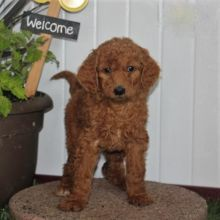 ***Goldendoodle Puppies*** 1 Boy & 1 Girl *** READY NOW