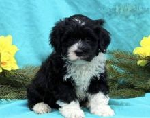 ***Portuguese Water Dogs*** 1 Boy & 1 Girl *** READY NOW