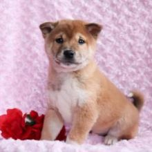 Adorable Shiba Inu Puppies Available