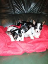Papillon puppies, male and female for adoption