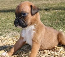 Enchanting Ckc Teacup Boxer Puppies Email at us [ dowbenjamin8@gmail.com ] Image eClassifieds4U