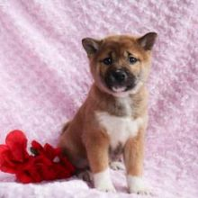 Adorable Shiba Inu Puppies For You