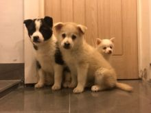 Pomsky puppies for a new home