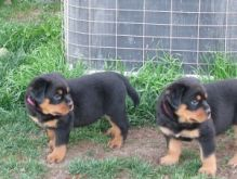 Rottweiler puppies all akc registered (306) 500-3579